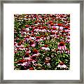 A Field Of Echinacea Framed Print