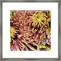 A Touch Of Yellow On Pink Mums Framed Print