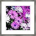African Daisies - Arctotis Stoechadifolia Framed Print