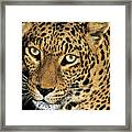 African Leopard Panthera Pardus Captive Wildlife Rescue Framed Print