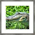 Alligator  Framed Print
