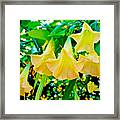 Angel's Trumpets At Pilgrim Place In Claremont-california Framed Print