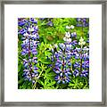 Arctic Lupine Framed Print