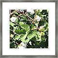 Arizona Cotton Framed Print