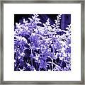 Astilbleflowers In Violet Hue Framed Print