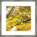 Autumns Gold Framed Print