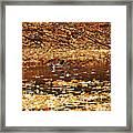 Autumns Mallards Framed Print