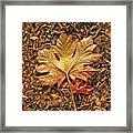 Autumn's Textured Maple Leaf Framed Print