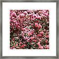 Azaleas Aplenty Framed Print