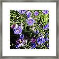 Bachelor Buttons-1 Framed Print