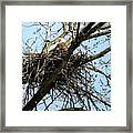 Bald Eagle In The Nest Framed Print