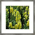 Batch Of Yellow Snapdragons Framed Print