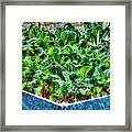 Beets And Chard Framed Print