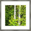 Birch Tree Panorama Framed Print