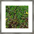 Birdsfoot Trefoil Surrounded By Tiny Bright Eyes In Campground In Saginaw-minnesota Framed Print