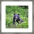 Black Bear Eating His Veggies Framed Print