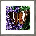 Black Butterfly On Heliotrope Framed Print