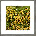 Black Eyed Susans-1 Framed Print