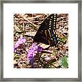 Black Swallowtail Butterfly Framed Print