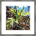 Black Walnut Spring Framed Print