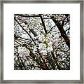 Blooming Apple Blossoms Framed Print