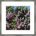 Blooming Lilacs Framed Print