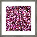 Blooming Pink Framed Print