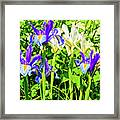 Blue And White Iris Framed Print