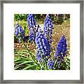 Blue Grape Hyacinth Framed Print