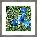 Blue Iris Hermodactyloides Framed Print