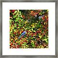 Blue Jay And Berries Framed Print