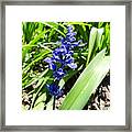 Blue Sage Framed Print