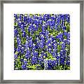 Bluebonnet Blues Framed Print