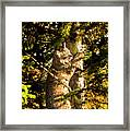Bobcat up a tree Framed Print