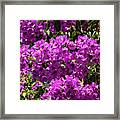 Bougainvillea Blooms Framed Print