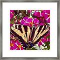 Swallowtail Butterfly Pink Framed Print