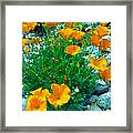 California Poppie In River Rock Framed Print