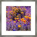 California Poppy And Lupin Framed Print