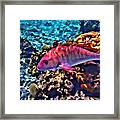 Cayman Snapper Framed Print