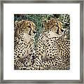 Cheetah Pair Framed Print