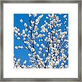 Cherry Blossoms In Julian California Framed Print