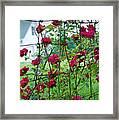 Climbing Roses Framed Print