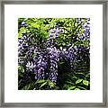 Clusters Of Wisteria Framed Print