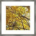 Colorado Aspens In Fall Framed Print