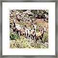 Colorado Mountain Sheep Framed Print