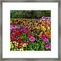 Colorful Dahlias In Garden Framed Print