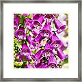 Colorful Foxglove Flowers Framed Print