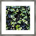 Common Ivy Framed Print