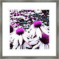 Cone Flower Delight Framed Print by Kevyn Bashore