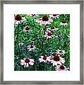 Coneflower Garden Framed Print